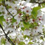 葉桜の時期はいつ頃?4月の挨拶や5月の見どころについて解説