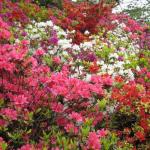 ツツジの開花時期やその大きさについて。水やりのコツも紹介!