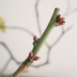 花芽の意味や葉芽との見分け方は?つぼみとの違いについても解説!