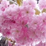 八重桜の名前の由来は?詠まれた和歌やその開花時期とは?
