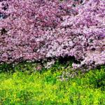 春爛漫の意味や時期について。言葉の使い方も解説!
