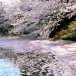 花筏の意味や語源について。咲く時期や育て方も解説!