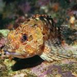 カサゴの大きさや寿命、カサゴ釣りの時期について。ミノカサゴとの違いは?