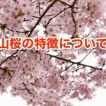 山桜の特徴やその大きさについて。寿命や詠まれた和歌とは?