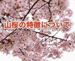 cherry-375174_640
