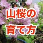 山桜の育て方とは?種、苗木、鉢植え、盆栽それぞれを解説!