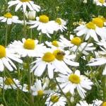 カモミールの用途や効能を種類ごとに解説。花粉症にも効果あり!?