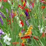 グラジオラスの意味や種類について。似た花には何があるの?