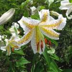 ヤマユリの開花時期や匂いについて解説。育て方も気になる!