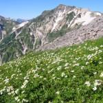 高山植物の代表的な花の名前は?その定義や特徴について!