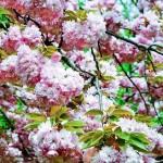 春をテーマにした有名な和歌を5つ紹介!
